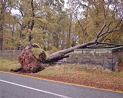A blown over tree